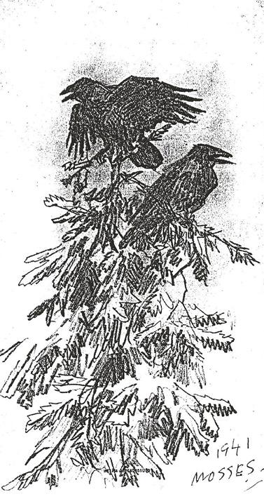 BILD: Fälststudie gjord av Mosse 1941 där han skissat fram ett par kråkor klängande i en grantopp